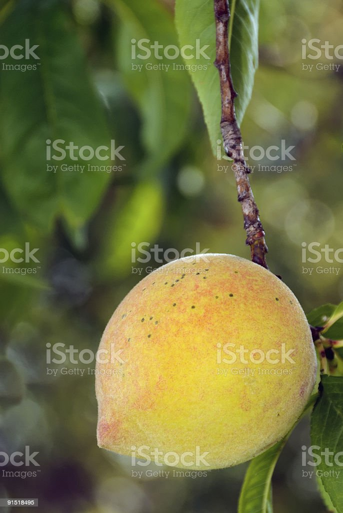 Yellow Peach royalty-free stock photo
