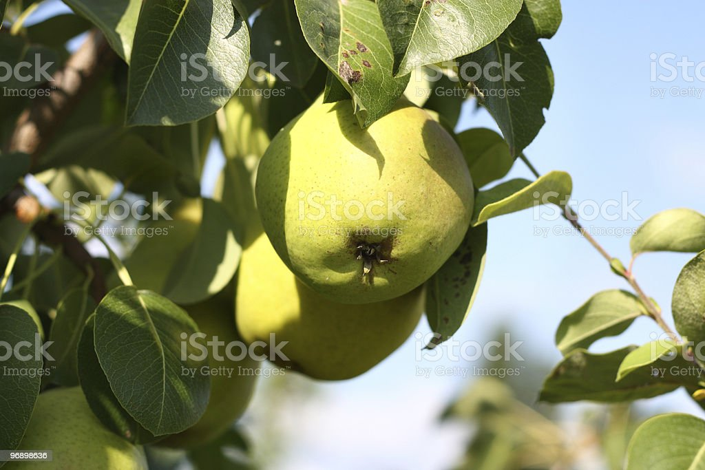 Yellow pears on branch in garden royalty-free stock photo