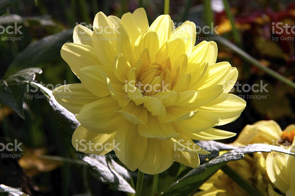 Yellow peony flower royalty-free stock photo