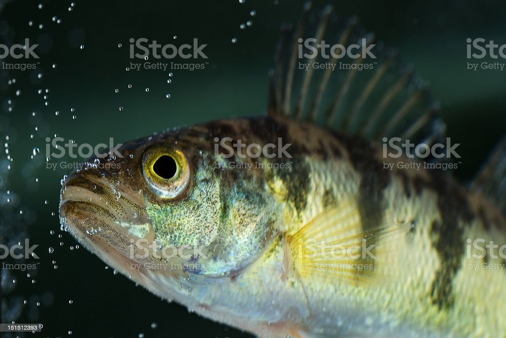 Yellow Perch Green Background royalty-free stock photo