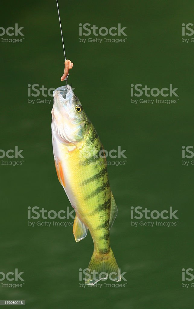 Yellow Perch royalty-free stock photo