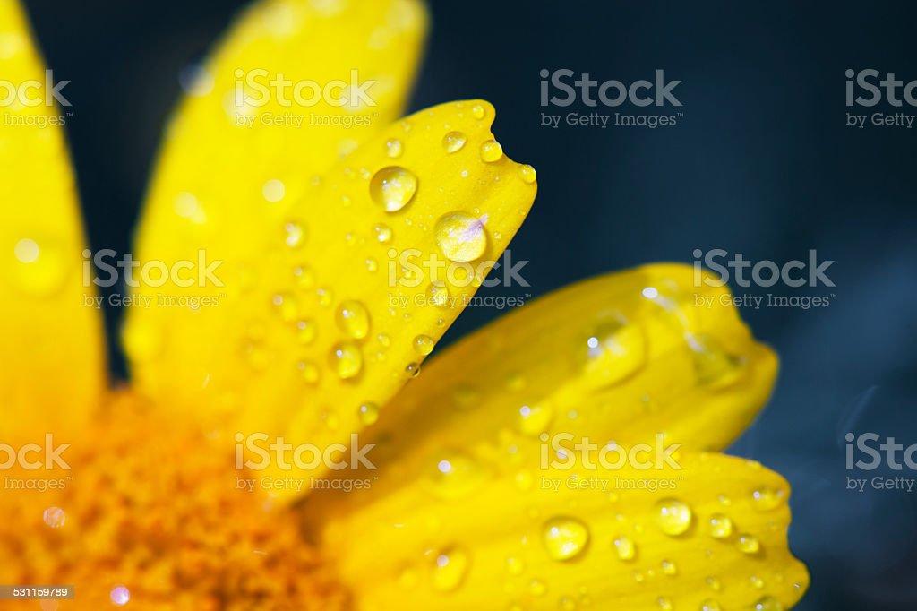 Pétalas de amarelo úmido com Orvalho - foto de acervo
