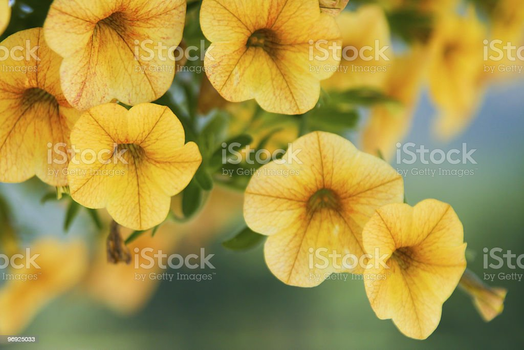 Yellow petunia royalty-free stock photo