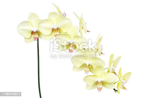 Yellow Phalaenopsis Orchid Flowers Isolated on White Background