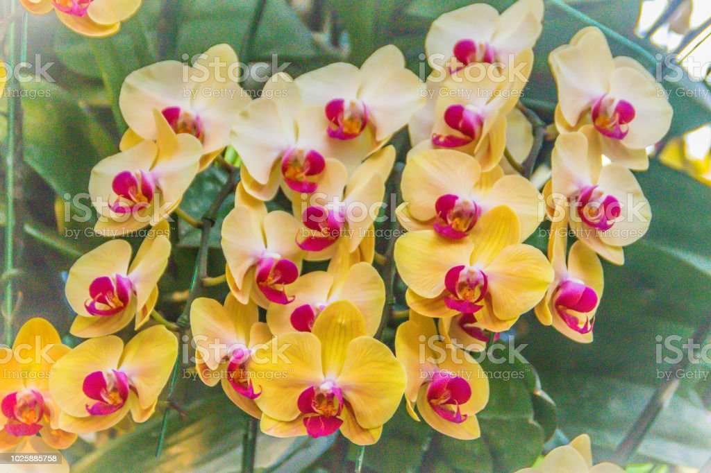 Yellow Phalaenopsis Orchid Flowers With Purple Pollen And Green