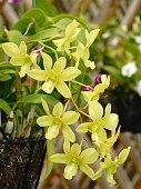 Orchid, Cymbidium, Flower, Bouquet, Moth Orchid