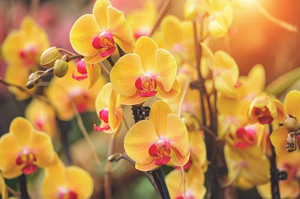 Yellow Phalaenopsis orchid stock photo