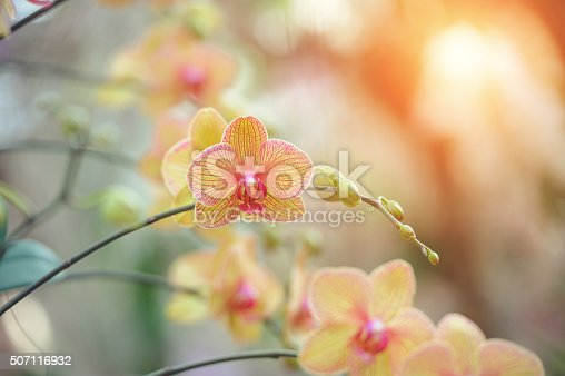 Beautiful Yellow Phalaenopsis orchid