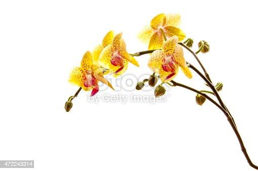 Yellow phalaenosis orchid stem isolated on white background