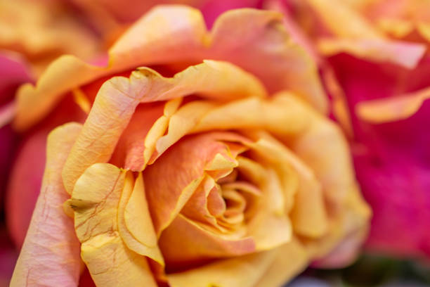 yellow pink rose blooms stock photo
