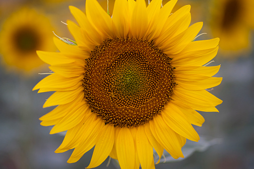 Yellow plant sunflower in the field