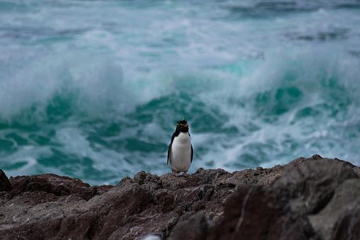 Yellow plumed penguin on Isla Pingüino