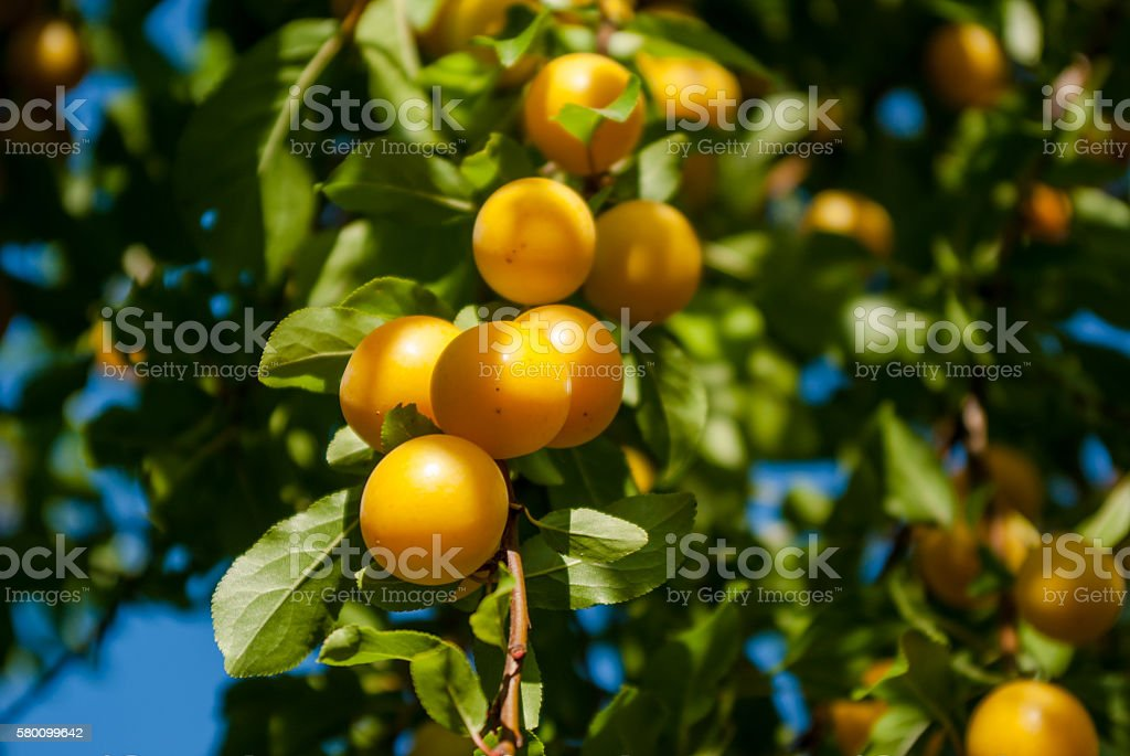 Yellow plums on the tree stock photo