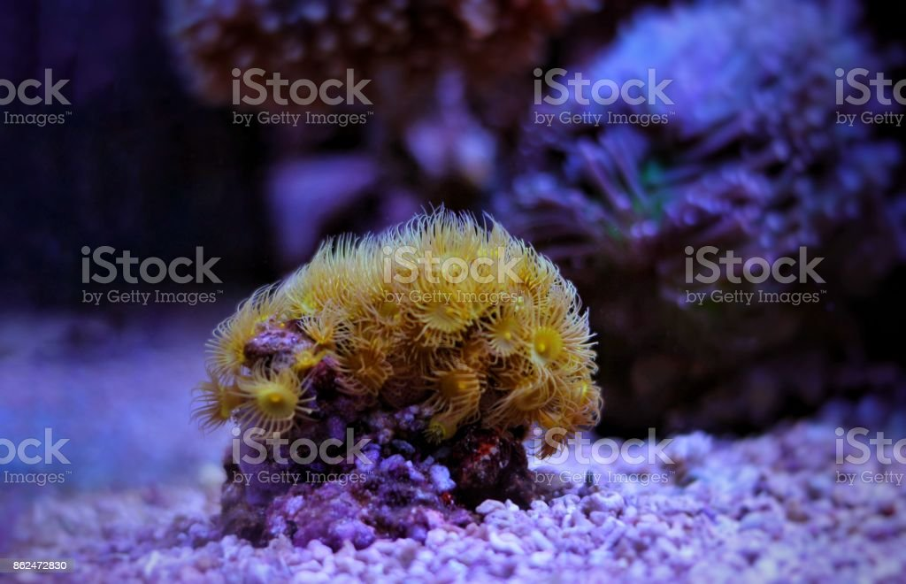 Yellow polyp coral stock photo