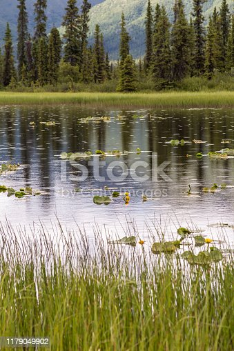 Yellow pond lilies floating dainty on a lake during a brief summer rain shower in Wrangell St Elias National Park, Alaska.