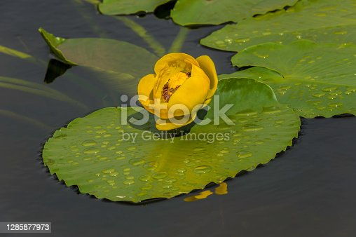 istock Yellow Pond Lily, Nuphar polysepala, Nuphar lutea subsp. polysepala, Chugach National Forest; Prince William Sound; Alaska, Family Nymphaeaceae, bright yellow flower on the water, aquatic flower, ponds and lakes 1285877973