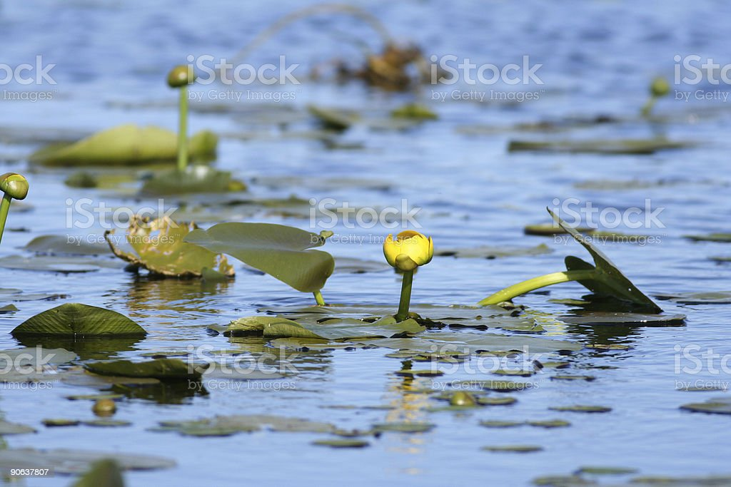 Yellow Pond Lily stock photo