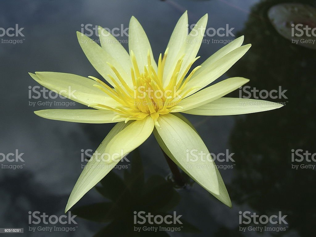 Yellow pond lily royalty-free stock photo