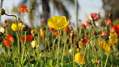 One yellow poppy flower standing tall among many other colorful poppies and their furry stems