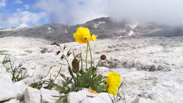Yellow poppy flower with dolomiti mountain background - foto stock