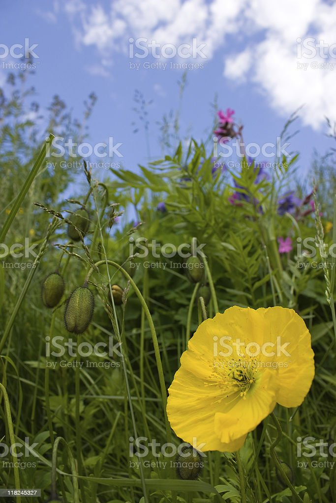 Yellow poppy royalty-free stock photo