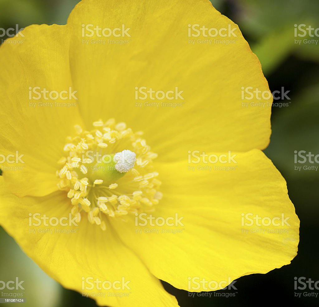 Yellow Poppy royalty-free stock photo