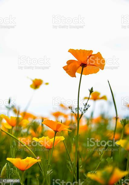 Yellow popy flower in the garden2 picture id474896495?b=1&k=6&m=474896495&s=612x612&h=sz8sehmce2cvfcsvw1asoiqvy8cqxrezax8m1nqaoz4=