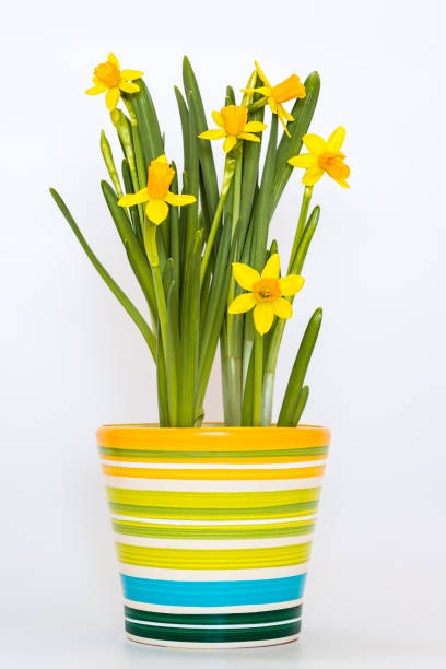 Yellow potted daffodils isolated on the white background stock photo