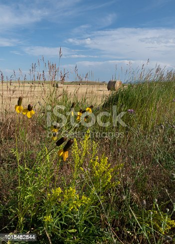 Close up of Scottish Broom, Yellow Prairie Coneflowers and Thistle with field and hay bales in the background. Cirrus clouds in blue sky are above.