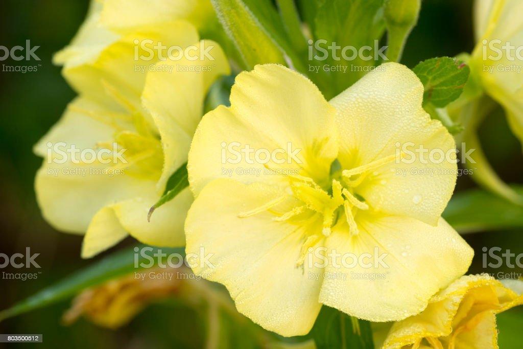 yellow primrose flower stock photo