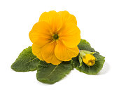 yellow primrose with bud isolated on white