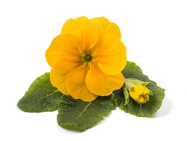 yellow primrose yellow primrose with bud isolated on white primula stock pictures, royalty-free photos & images