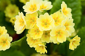 yellow primrose in garden - shallow dof