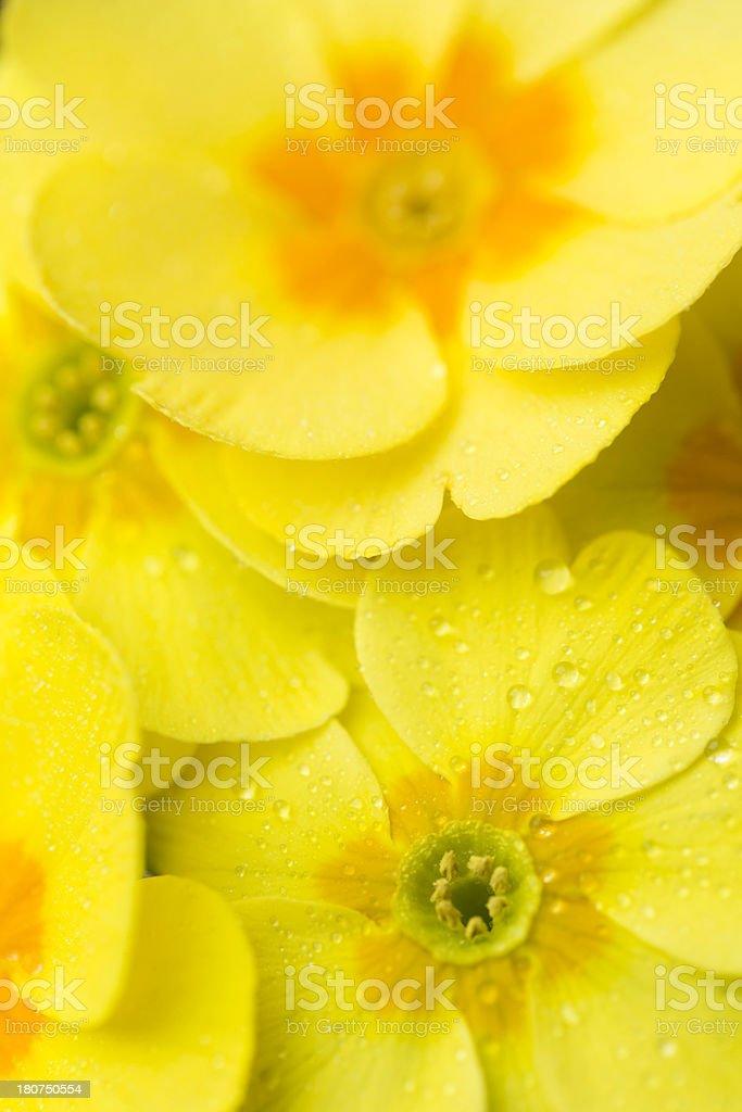 yellow primula royalty-free stock photo