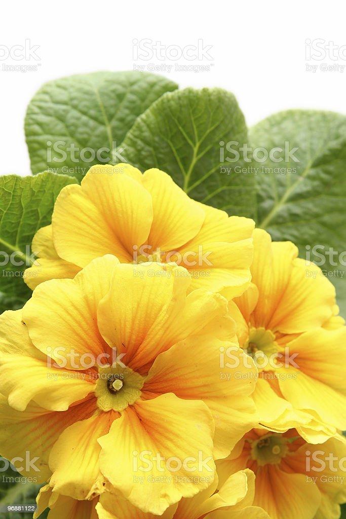 Yellow primula stock photo