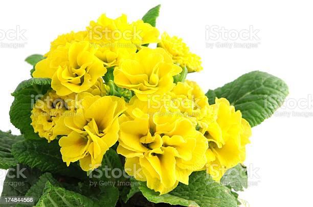 Yellow primula primrose picture id174844566?b=1&k=6&m=174844566&s=612x612&h=v5nqowvwbtq4jlbua1mmpnqivz 79cdqflmgjaioc s=