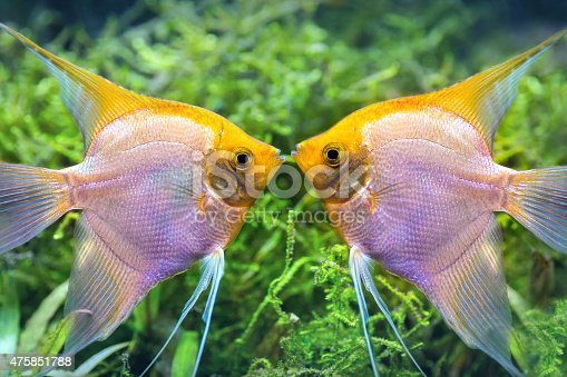 Close-up in selective focus of two yellow fish, they are kissing underwater near to some green plant. Underwater view of tropical fish Pterophyllum Scalare, golden type native to South America. The two fish are face to face and they run the parade for reproduction. These are fish that can be found in pet stores.