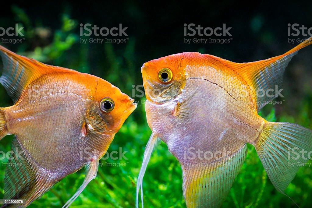 Yellow Pterophyllum Scalare fish kissing underwater stock photo