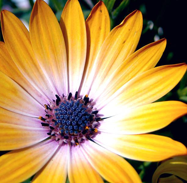 Yellow Purple Flower stock photo
