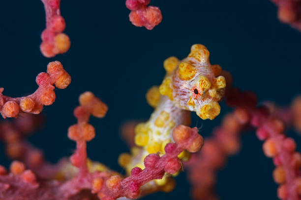 Yellow Pygmy Seahorse, Gelbes Zwerg-Seepferdchen (Hippocampus bargibanti) Underwater extreme close-up photography of a yellow pygmy seahorse. manado stock pictures, royalty-free photos & images