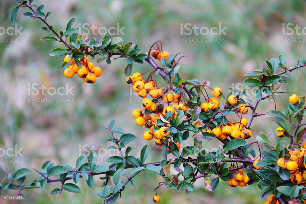 Yellow pyracantha berries on a bush - Photo