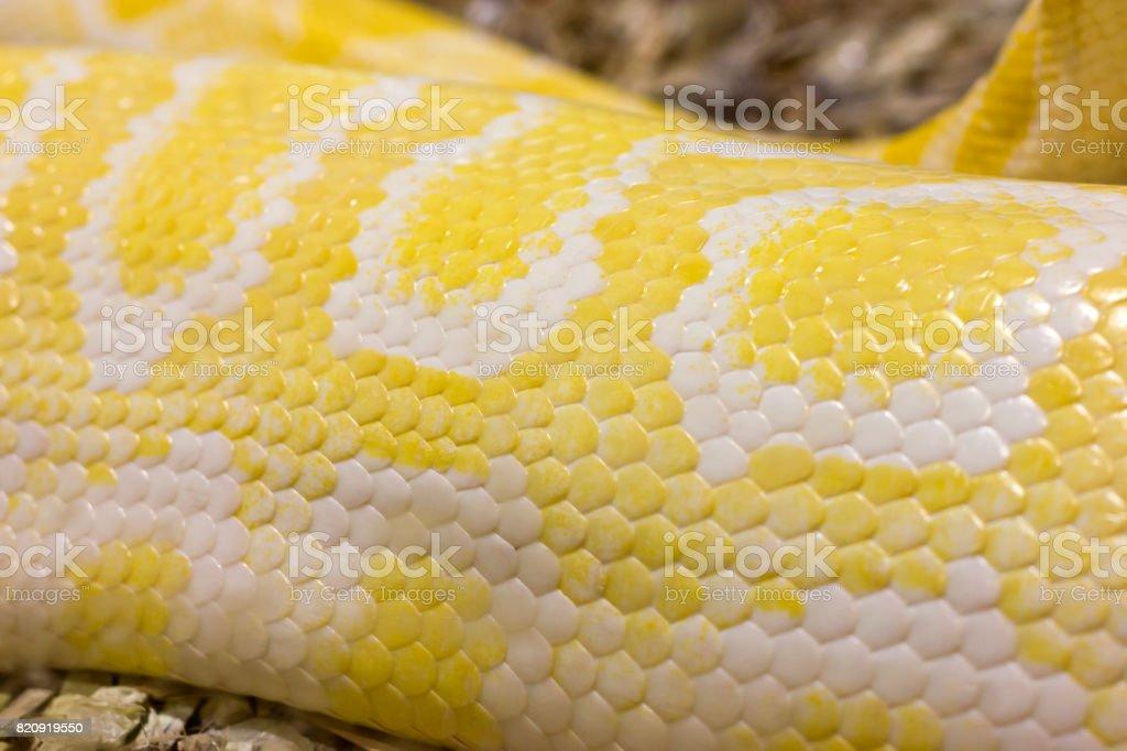 Yellow python skin stock photo