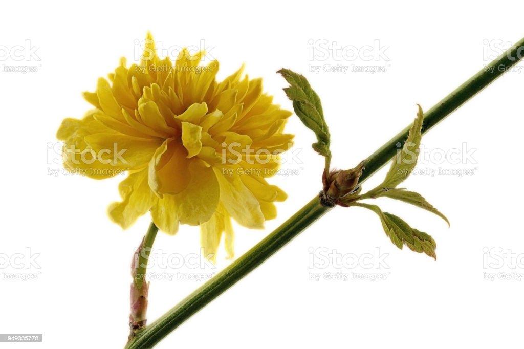 Gelbe Ranunkel Strauch - Kerria Japonica - auf weißem Hintergrund – Foto