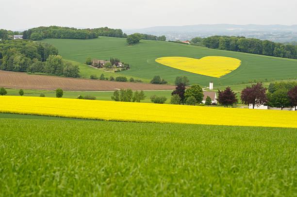 yellow rape field in heart shape stock photo