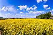 beautiful yellow rape field in spring
