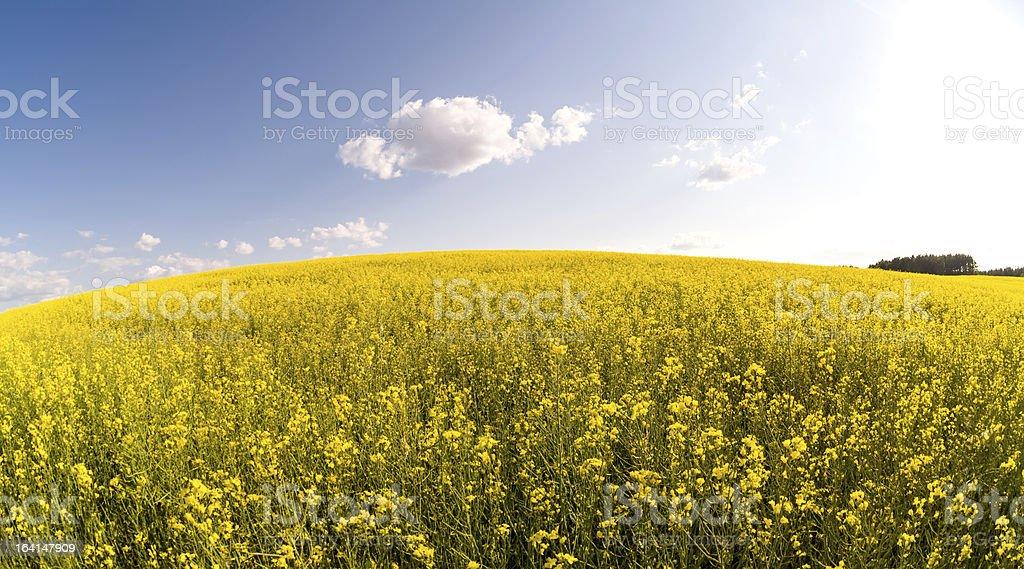 Yellow rape field landscape royalty-free stock photo