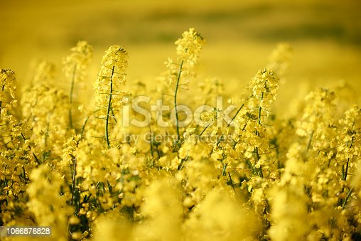 pictures of a beautiful yellow rape field close-up and with horizon view