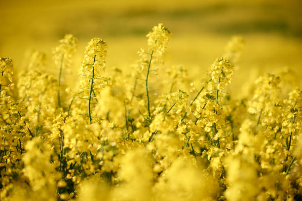 Yellow rape field pictures of a beautiful yellow rape field close-up and with horizon view oilseed rape stock pictures, royalty-free photos & images