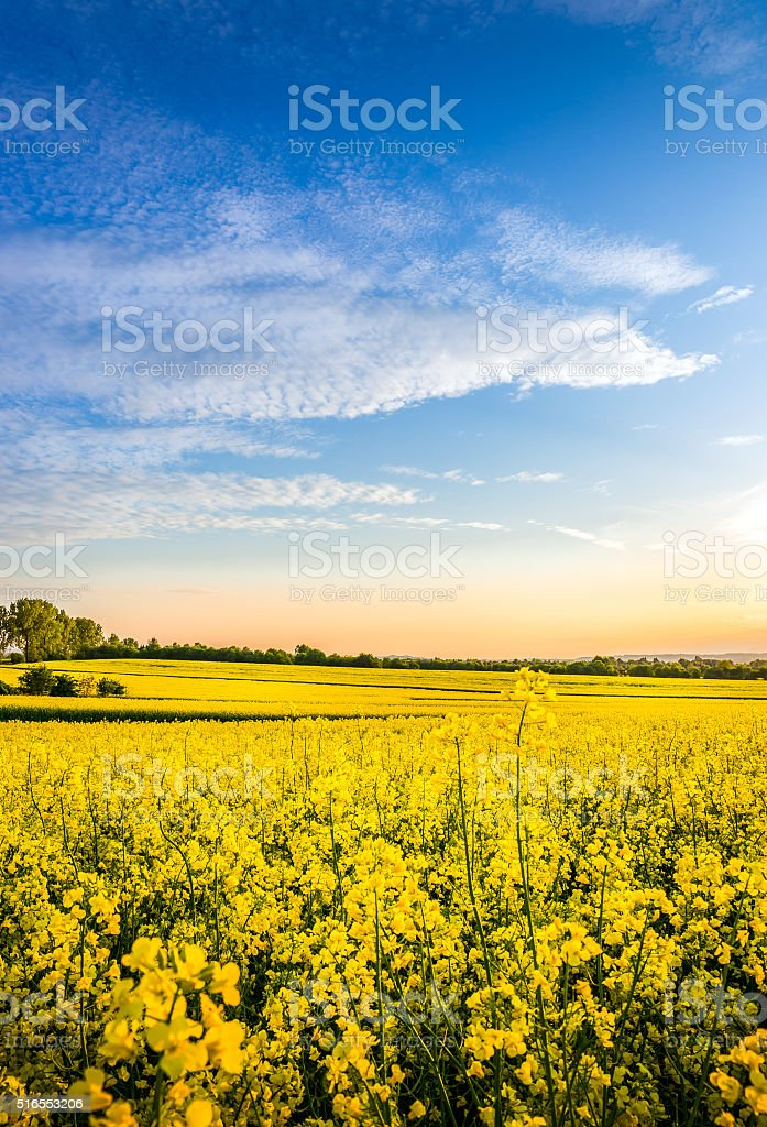 Yellow rape field stock photo