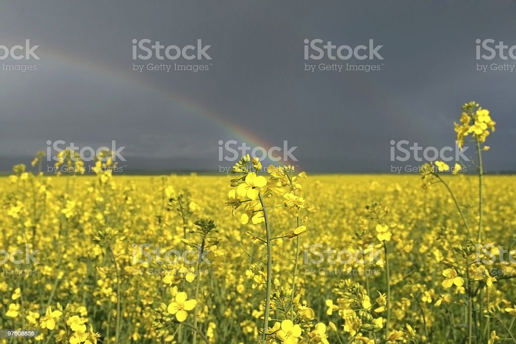 Yellow rape flower field royalty-free stock photo